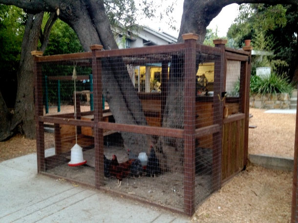 Chickens at Preschool